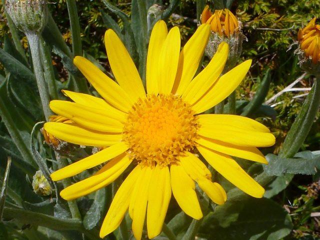 Doronic à grandes fleurs