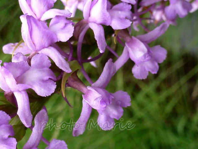 Orchis moustique, orchis moucheron