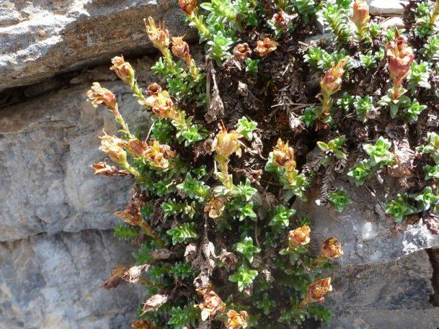 Saxifrage à feuilles opposées