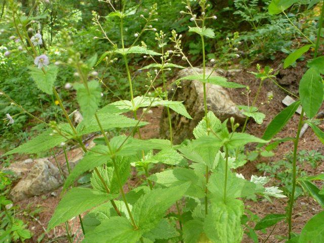 Véronique à feuilles d'ortie