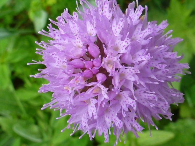 Monocotylédones (lis,orchis ,ail,…)