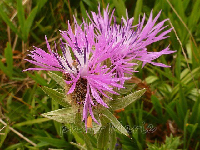 Centaurée à une fleur