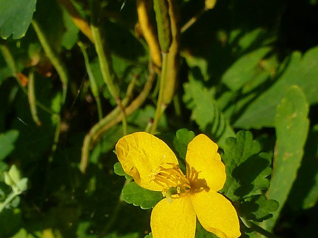Chélidoine, herbe-aux-verrues