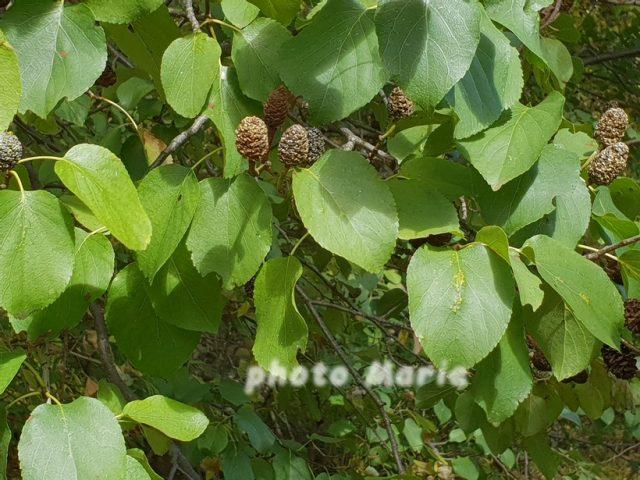 aulne à feuilles en coeur